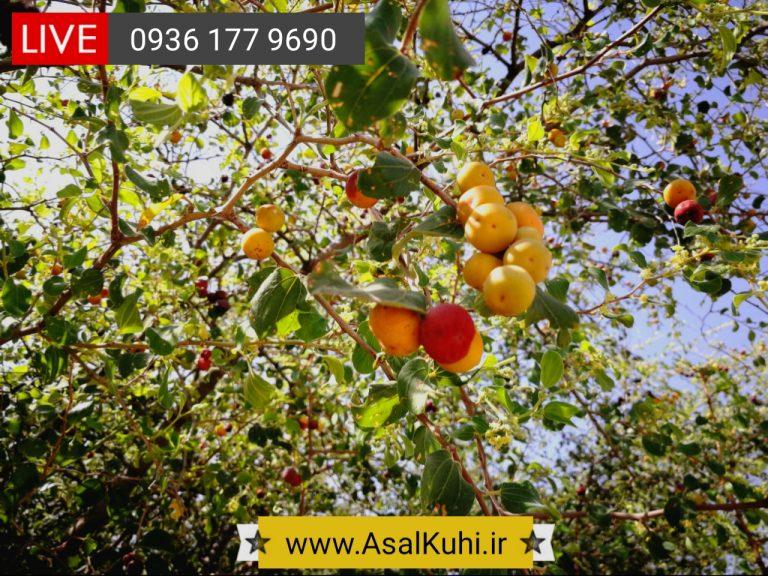 خواص میوه درخت کنار