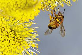 زنبور عسل در حال جمع آوری گرده